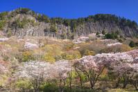 奈良県 曽爾村 屏風岩公苑 桜と屏風岩