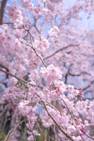 福井県 小浜市 妙佑寺の枝垂桜