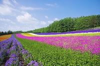 北海道 彩りの畑