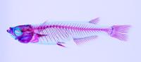 メダカ メス 透明骨格標本