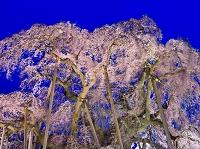 福島県 桜 三春の滝桜