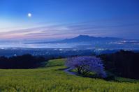 長崎県 諫早市 夜明けの白木峰高原の桜と菜の花、遠く雲仙岳と...