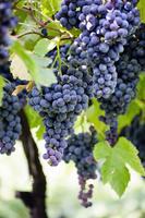 イタリア 葡萄