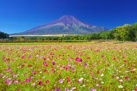山梨県 花の都公園のコスモス