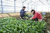 小松菜栽培 収穫の様子