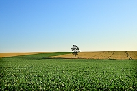 北海道 麦畑と一本松