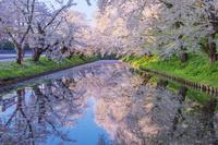 日本 青森県 弘前城外濠の花筏と桜
