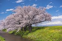 山形県 馬渡の桜並木と鳥海山