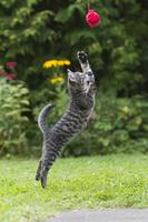ドイツ ジャンプする子猫