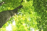 ブナ林  新緑 若葉
