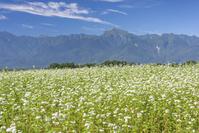 そば畑と甲斐駒ヶ岳