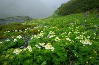 山梨県 ハクサンイチゲのお花畑 高山植物