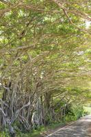 鹿児島県 ガジュマル並木 白浜