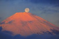 神奈川県 金時山から望む朝日に染まる富士山と月
