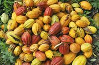 サントメ・プリンシペ 収穫されたカカオ豆