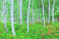 長野県 八千穂高原 初夏の白樺林