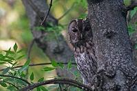 擬態する動物 モリフクロウ