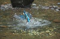 水中から飛び出すカワセミ