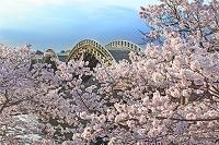 錦帯橋と桜 山口県