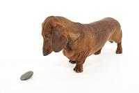 石を見つめている犬