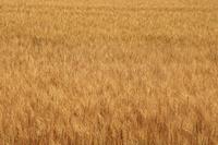北海道 大麦の実り