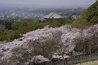 奈良県 奈良市 若草山の桜と大仏殿