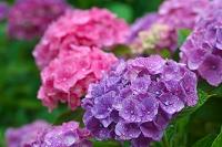 梅雨 アジサイの花
