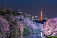東京都 千鳥ヶ淵の桜のライトアップと東京タワー