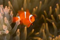 パプアニューギニア ケビエン 水中 スパインチークアネモネフ...