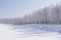 北海道美瑛町 カラマツ霧氷