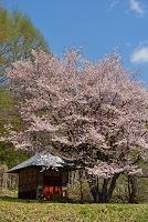 群馬県 片品村 オキノ桜