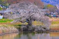 茨城県 つくば市 一本桜