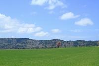 北海道 弟子屈町 エゾヤマザクラ(2008年、合格の木に選定)