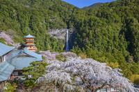 和歌山県 シダレザクラと青岸渡寺三重塔と那智滝