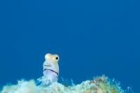 サンゴ礁 イシガキカエルウオ