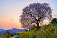 佐賀県 馬場のヤマ桜