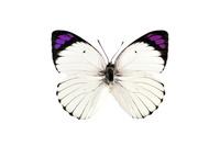 蝶 標本 コロティスシロチョウ アフリカ