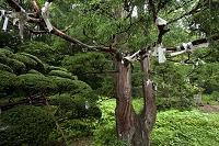 岩手県 達谷西光寺おみくじの結ばれた樹木