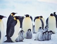 南極大陸 コウテイペンギンに群れ