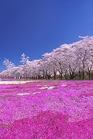 群馬県 桜並木と芝桜