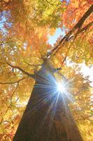 北海道 賀老高原 紅葉のブナの巨木と木漏れ日