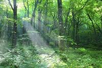 青森県 白神山地 新緑の原生林