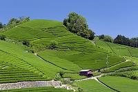 京都府 石寺の茶畑