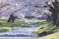 福島県 観音寺川の桜