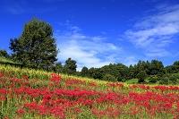 奈良県 明日香村の彼岸花と棚田