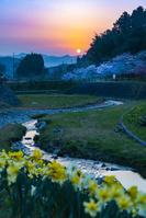 朝日に照らされるスイセンと桜