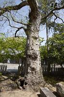 兵庫県 川西市 多田神社 ムクロジの巨木