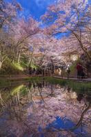 長野県 タカトオコヒガンザクラ咲く高遠城址公園桜雲橋夕景