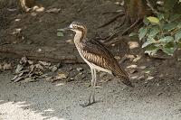 埼玉県 越谷市 キャンベルタウン野鳥の森 オーストラリアイシ...