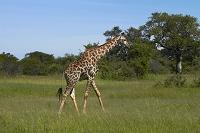 ジンバブエ ワンゲ国立公園 キリン